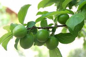 خواص میوه گوجه سبز